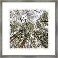 Looking Up At Snow Covered Tree Tops Framed Print