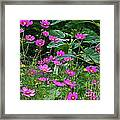 Lots Of Cosmos Framed Print