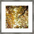 Low Angle View Of Autumn Trees Framed Print