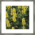Lupin Blooms Framed Print