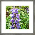 Lupine Along Trail To Rancheria Falls In Yk-canada   Framed Print