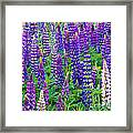 Lupines Framed Print