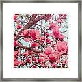 Magnolia Blossoms In Spring Framed Print