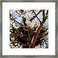 Magpie Nest In Cherry Tree Framed Print