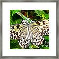 Malabar Tree Nymph Butterfly Framed Print