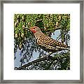 Male Red-shafted Northern Flicker Framed Print