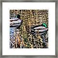 Mallards In The Reeds Framed Print