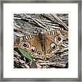 Mangrove Buckeye  Framed Print