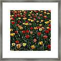 Many Tulips Framed Print