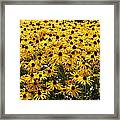 Many Yellow Blooms Framed Print