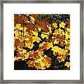 Maple Gold Framed Print