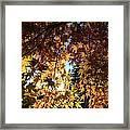 Maple In Fall Framed Print