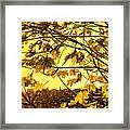 Maple Sunset - Paint Framed Print
