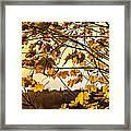 Maple Sunset Framed Print