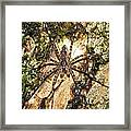Brown Fishing Spider Framed Print
