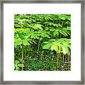 Mayapple Plants Framed Print