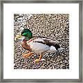 Meet Mr. Quack - A Mallard Duck Framed Print