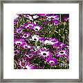 Mesembryanthemums 5 Framed Print