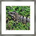Mexican Spinytailed Iguana  Framed Print