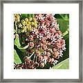 Milkweed Flowers In Bud Framed Print