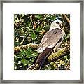 Mississippi Kite Framed Print