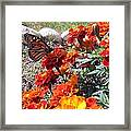 Monarch Among The Marigolds Framed Print