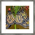 Monarch Butterflies Framed Print