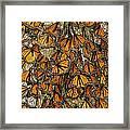 Monarch Butterflies Wintering Framed Print