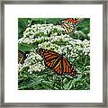 Monarch Butterfly 54 Framed Print
