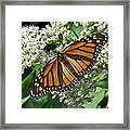 Monarch Butterfly 62 Framed Print