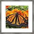 Monarch Resting Framed Print
