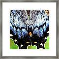 Monarchs Blue Glow Framed Print