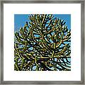 Monkey Puzzle Tree E Framed Print