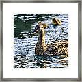 Mother Duck Framed Print