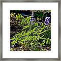 Mountain Lupine Framed Print