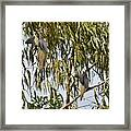 Mourning Doves Landing In Eucalyptus  Framed Print