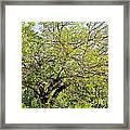 Mulberry Tree Framed Print