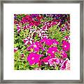 Multi-colored Blooming Petunias Background Framed Print