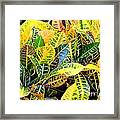 Multi-colored Croton Framed Print