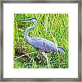 My Blue Heron Framed Print by Greg Fortier