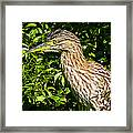 Nankeen Night Heron Framed Print