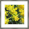Naturalized Daffodils On The Farm Framed Print