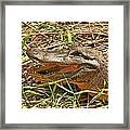 Nesting Alligator Framed Print