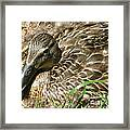 Nesting Mallard Framed Print