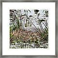 Nesting Sandhill Crane Framed Print
