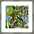 New Apples Framed Print
