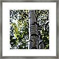 New England Birch Framed Print