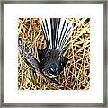 New Zealand Fantail Framed Print