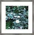 Ninebark Beauty Framed Print