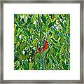Northern Cardinal Hiding Among Green Leaves Framed Print by Cyril Maza